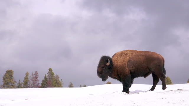 vídeos de stock e filmes b-roll de bison stands in profile, looking around, yellowstone national park, in winter - bisonte americano