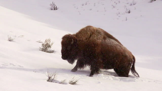 bison struggles through deep snow, yellowstone national park, in winter - american bison stock videos & royalty-free footage