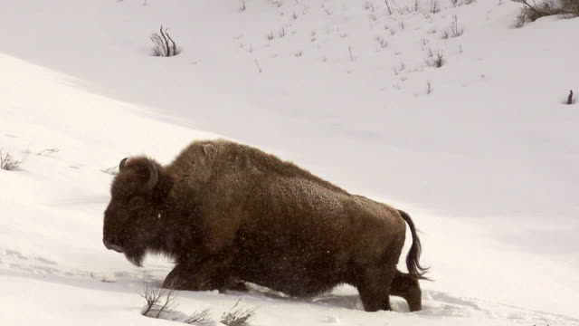 bison struggles through deep snow,yellowstone national park, in winter - american bison stock videos & royalty-free footage