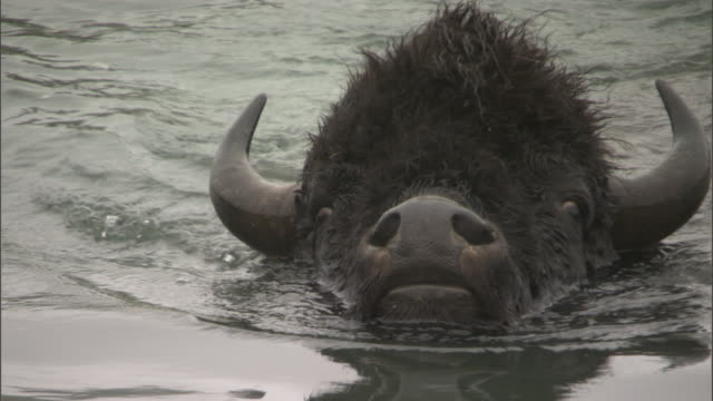 bison (bison bison) swims in lake, yellowstone, usa - american bison stock videos & royalty-free footage