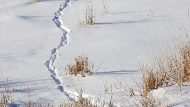 Bison tracks in the snow, Yellowstone National Park, Wyoming, in the winter