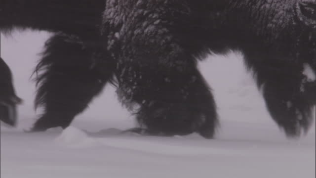 bison (bison bison) trudges through snow, yellowstone, usa - american bison stock videos & royalty-free footage