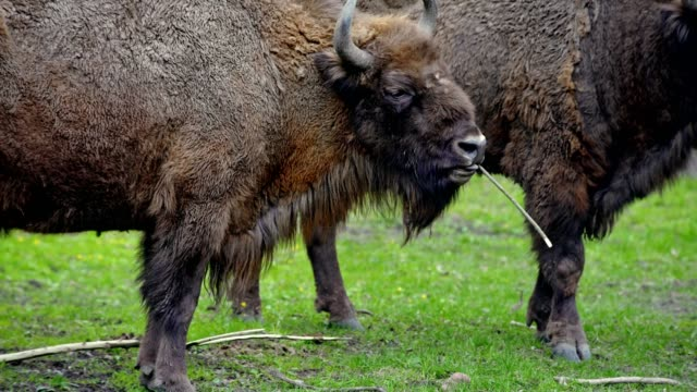 bison - american bison stock videos & royalty-free footage
