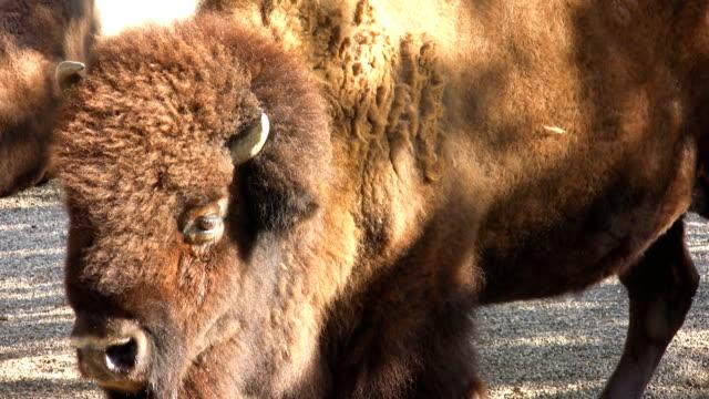 Bison (HD)
