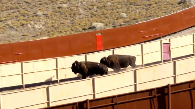 bison - pferch stock-videos und b-roll-filmmaterial