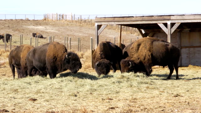 bison - red pen stock videos & royalty-free footage