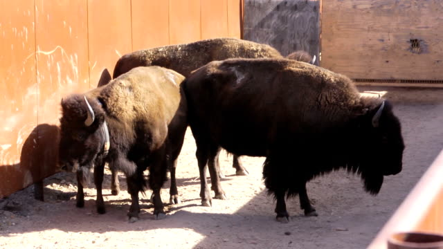 bison - animal pen stock videos & royalty-free footage