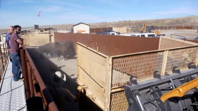 vídeos y material grabado en eventos de stock de bison - grupo pequeño de animales