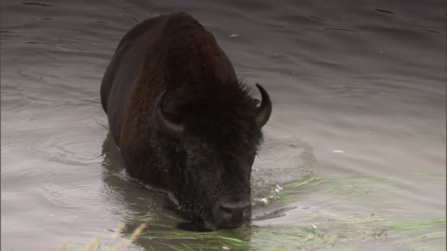 bison (bison bison) wades out of lake, yellowstone, usa - wyoming stock videos & royalty-free footage
