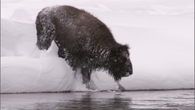 bison (bison bison) wades through snow into river, yellowstone, usa - american bison stock videos & royalty-free footage