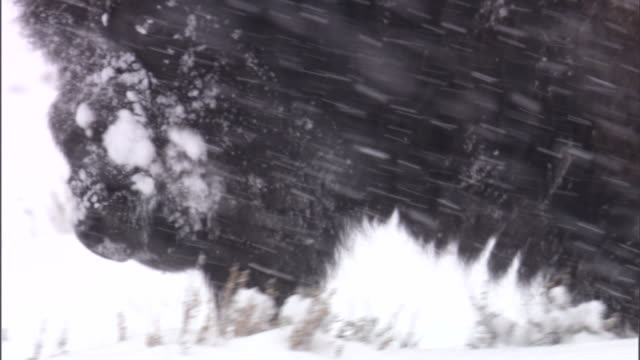 Bison (Bison bison) wades through snow, Yellowstone, USA