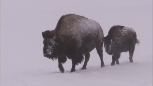 bison (bison bison) walk in snow, yellowstone, usa - american bison stock videos & royalty-free footage