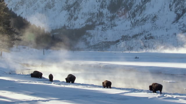 bison walking along madison river, yellowstone national park, wyoming, in winter - american bison stock videos & royalty-free footage