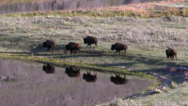 vídeos de stock e filmes b-roll de bison walking near slough creek, reflections, spring in yellowstone national park, wyoming - cinco animais