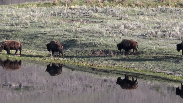 Bison walking near Slough Creek, reflections, Spring in Yellowstone National Park, Wyoming