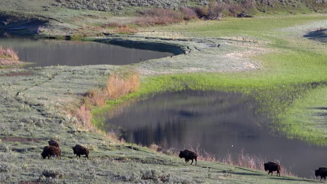 Bison walking near Slough Creek, Spring in Yellowstone National Park, Wyoming