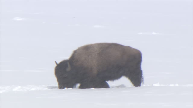ms  bison walking through snow on snowy day / yellowstone national park, wyoming, usa - american bison stock videos & royalty-free footage