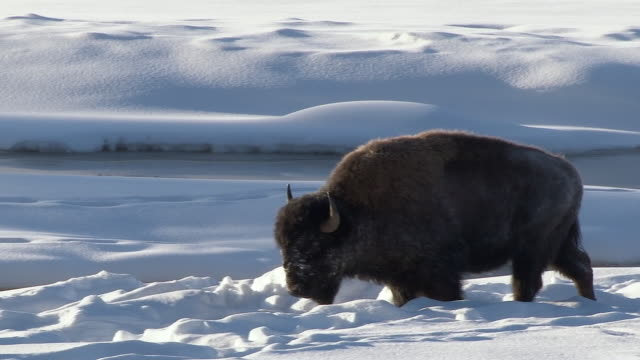 vídeos de stock e filmes b-roll de bison walking through snow, yellowstone national park, wyoming, in winter - bisonte americano