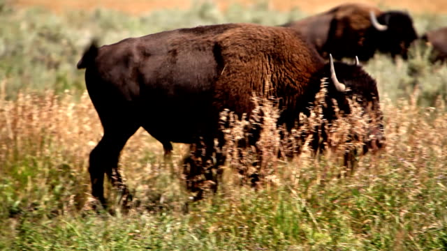 bison walking-hd - american bison stock videos & royalty-free footage