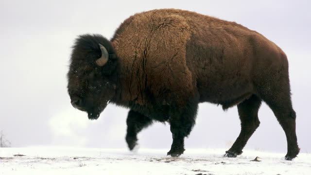 Bison walks left, Yellowstone National Park, in winter
