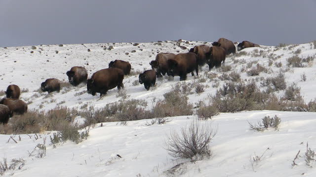 vídeos de stock e filmes b-roll de bison wearily pushing snow aside to reach grass, yellowstone national park, wyoming - bisonte americano
