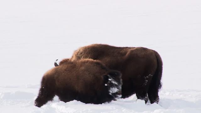 vídeos y material grabado en eventos de stock de bison with calf, yellowstone national park, wyoming, in winter - ternero