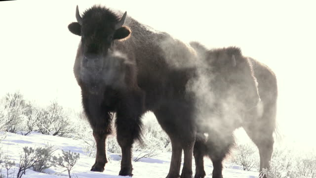 vídeos de stock e filmes b-roll de bison with steaming breath, walk left, yellowstone national park, in winter - bisonte americano