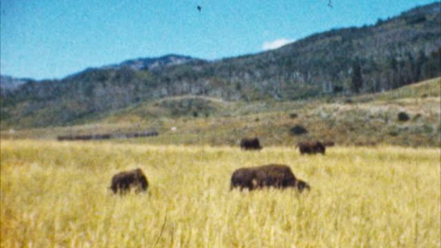 vídeos de stock, filmes e b-roll de bison, o parque yellowstone (arquivo anos 1950 - 1950