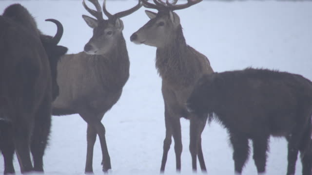 Bisons and deers in winter