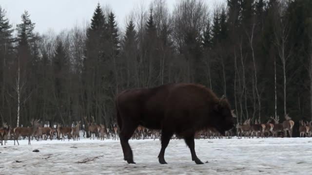 vídeos de stock, filmes e b-roll de bisontes e veados - bielorrússia