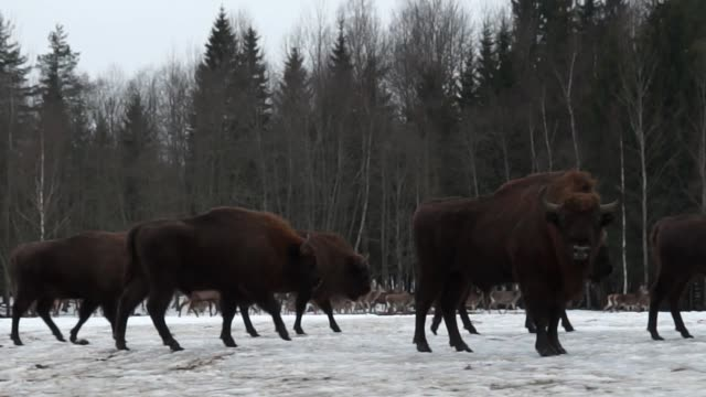 bisons and deers - herd stock videos and b-roll footage