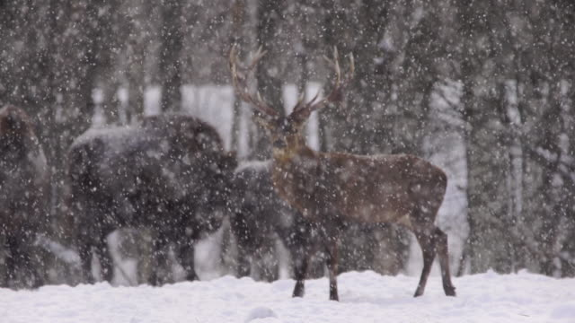 bisons and red deer together - american bison stock videos & royalty-free footage