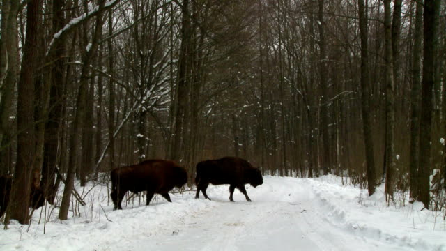 bisons are cross the road - wild cattle stock videos & royalty-free footage