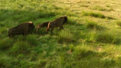 北美野牛形成空氣 - 美洲野牛 個影片檔及 b 捲影像