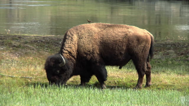 ms bison's grazing in yellowstone national park / jackson, wyoming, usa - herbivorous stock videos & royalty-free footage
