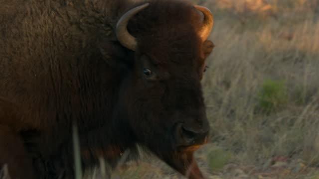 bison's head - アメリカバイソン点の映像素材/bロール