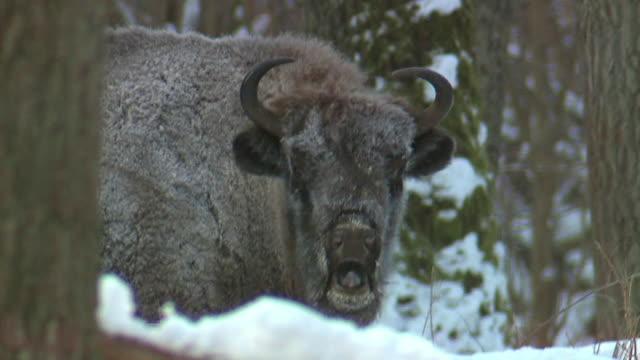 bisons in belovezha - herd stock videos & royalty-free footage
