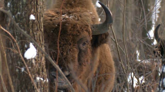 vídeos de stock e filmes b-roll de bisons in chernobyl - áudio disponível online