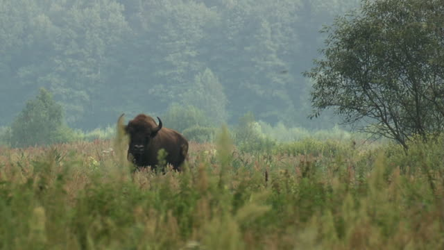 Bisons in summer time