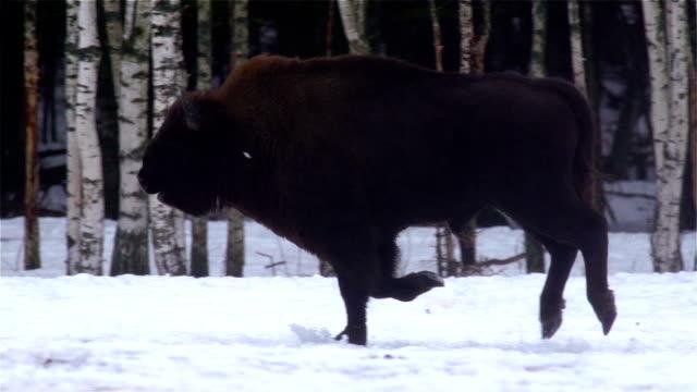 bisons の森 - 野牛点の映像素材/bロール