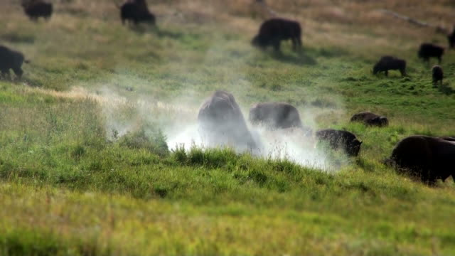 bisons - prairie stock videos and b-roll footage