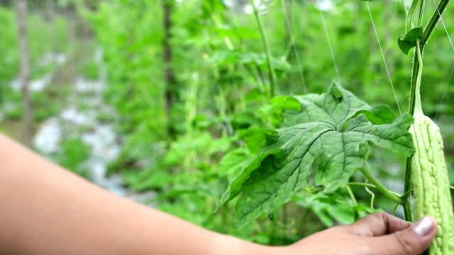 vídeos y material grabado en eventos de stock de calabaza amarga colgado de un poste en el jardín de la granja. - calabaza no comestible