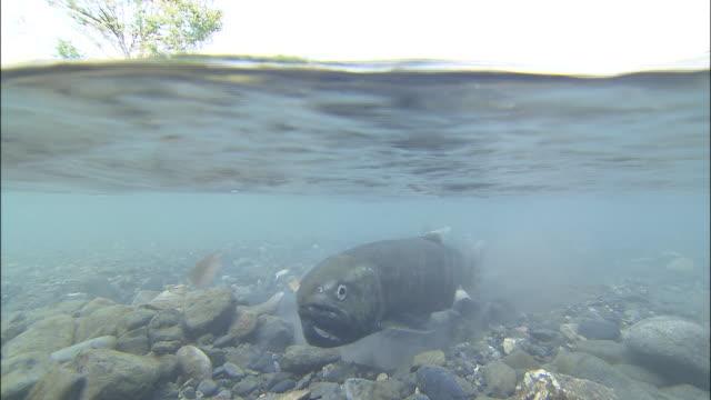 biwa trout swimming against river current, takashima - takashima shiga stock videos & royalty-free footage