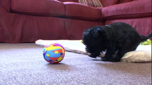 vídeos y material grabado en eventos de stock de a black affenpinscher puppy plays with a ball in a living room and then walks over to its littermate. - juguete