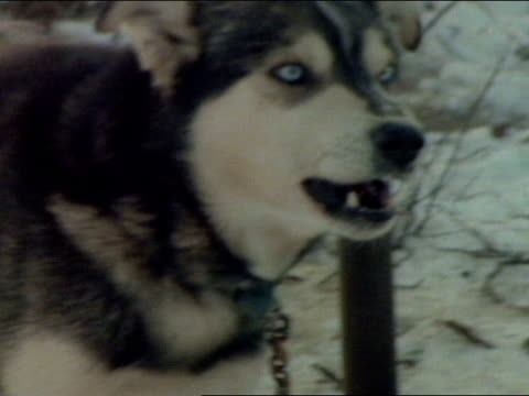 black amp white siberian husky w/ blue eyes barks and bares his teeth viciously ws black amp white and tan huskies tied to poles in snow brushwood in... - blue dog stock videos & royalty-free footage