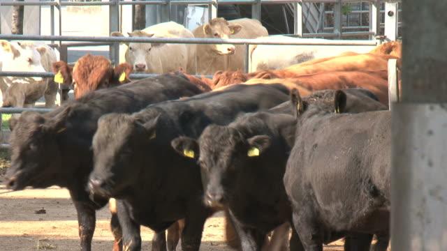 Black and brown bulls in the paddock
