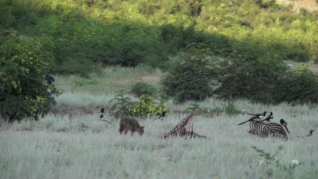 vidéos et rushes de chacal et vautour noir et égyptienne - vautour moine