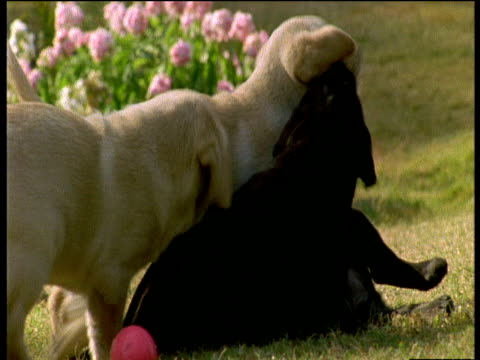 80 Top Black Labrador Video Clips and Footage - Getty Images