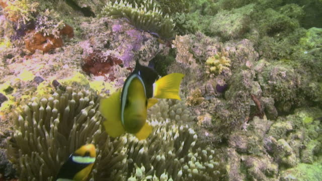 Black and orange Clark's Anemone fish swimming around colourful coral