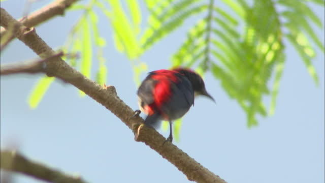vídeos y material grabado en eventos de stock de a black and red bird perches on a tree limb before flying away. - pájaro